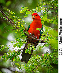 King parrot - a male king parrot in a tree