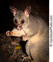 brush-tail possum - brush-tailed possum feeding on a grape