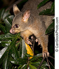 brush-tail possum - brush-tailed possum in a tree