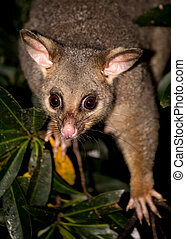 brush-tail possum - a brush-tailed possum in a tree