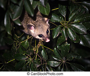 brush-tail possum - brush-tailed possum poking out between...