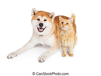 Akita Dog And Tabby Cat Over White Background