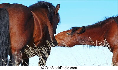 Two Horses Touch and Communicate on a Mountain Pasture These...