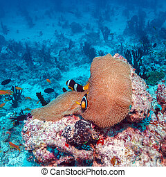 Pair of Clown Fishes near Anemone - Anemonefish Amphiprion...