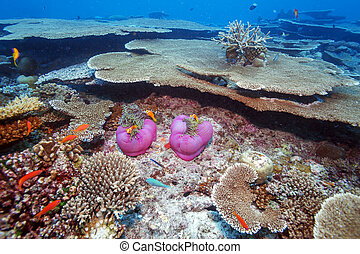 Clown Fishes Nested in Purple Anemones - Maldive anemonefish...