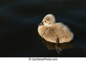 black swan cygnet floating on water - closeup of black swan...