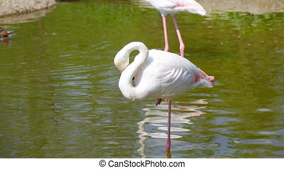 White long-legged flamingo in pond - Beautiful flamingo and...