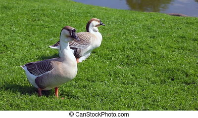 Gray geese resting on green grass
