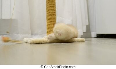 Beige kitten playing with a toy and  scratching post