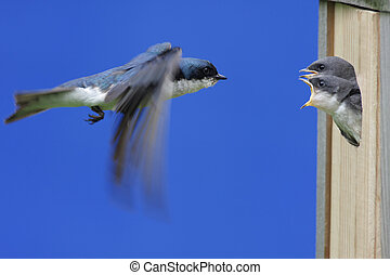 Tree Swallow Feeding Babies - Male Tree Swallow (tachycineta...