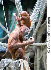 Mother orangutan with her baby in zoo