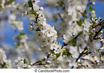 blossoming spring cherry orchard against the blue sky