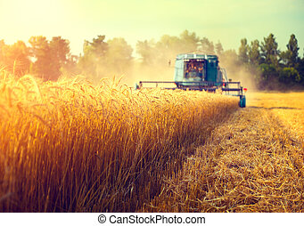 Combine harvester agriculture machine harvesting golden ripe...