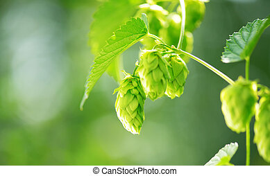 Hop plant close up growing on a hop farm Brewing