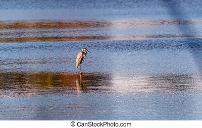 Blue Heron standing in a pond at sunset