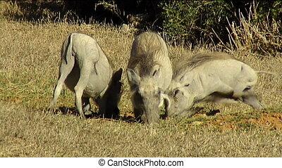 Warthogs on knees eating grass - warthogs (Phacochoerus...