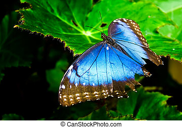 Blue Morph - A Blue Morph Butterfly with it\'s wings opened...