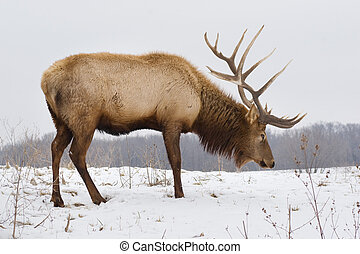 Big Bull Elk on Snowy Day - A big bull elk searching for...