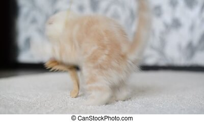 Beige kitten playing with toy - Beige kitten playing with a...