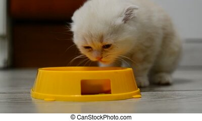 Beige kitten eating food from bowl