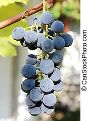 cluster of blue grapes - big cluster of blue and ripe grapes