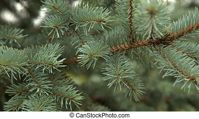 Fir branch close-up shot hd