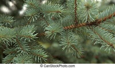 Fir branch close-up