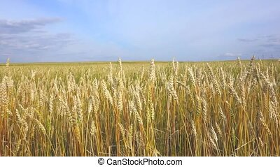 Wheat field and sky - wheat field in the wind and sky
