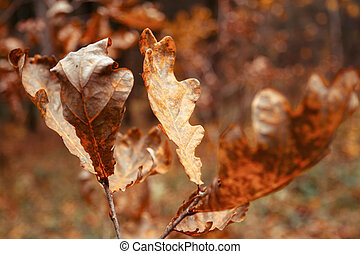 Dried poplar leaf in autumn - Macro picture of dried autumn...