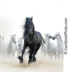 Black stallion and white horses