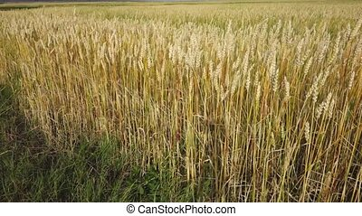 Field of wheat on wind - rack focus from background to ears.