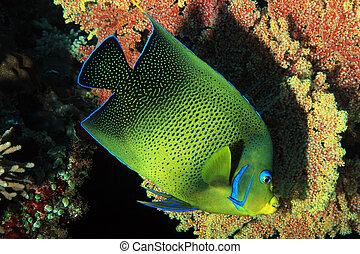 Koran Angelfish Pomacanthus Semicirculatus, aka Semicircle...