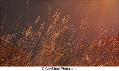Autumn Grass in the Afternoon Sun Swaying in a Light Wind....