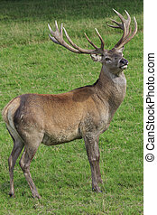 Red Deer Stag with big antlers ready for the autumn rut