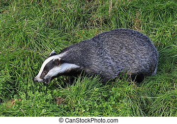 Badger on grass looking for food