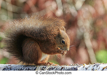 Red squirrel Sciurus vulgaris eating close-up