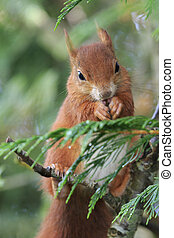 Red squirrel (Sciurus vulgaris) eating close-up