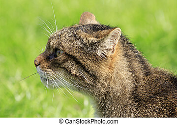 Scottish Wildcat Felis silvestris prowling in the wild