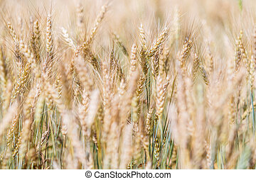 wheat field and barley