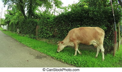 Cow on city street - After rain cow nibbling grass on city...