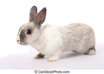 Bunny Rabbit - Cute gray and white bunny rabbit