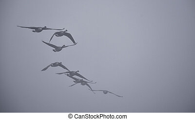 Canadian Geese in the fog - A gaggle of Canadian Geese...
