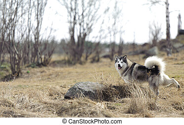 Beautiful husky playing outside in spring in the forest