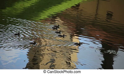 Ducks swimming in the pond. Summer