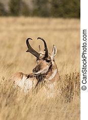 Pronghorn Antelope Buck - a bedded pronghorn antelope buck...