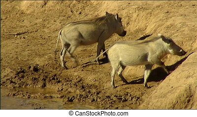 Two warthog drinking at waterhole - Two warthogs...