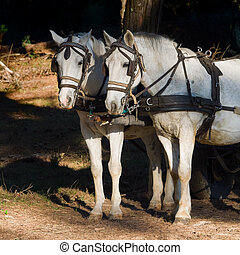 two white work horses with harnesses and blinkers hitched to...