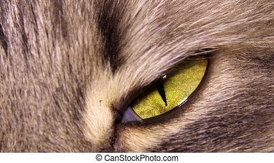 cat eye - close up yellow eye of grey domestic cat