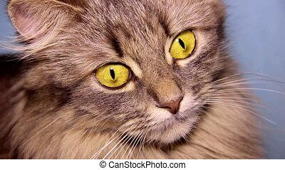 cat - close up grey domestic cat