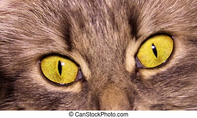 cat eyes - close up yellow eyes of grey domestic cat